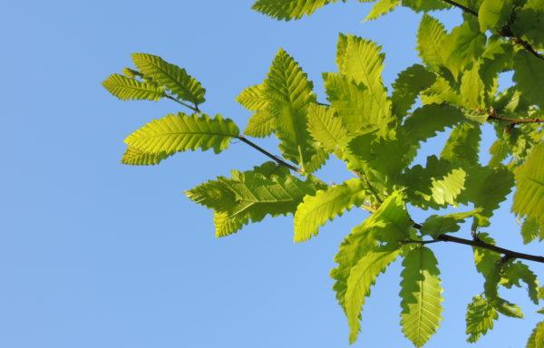 Quercus castaneifolia C.A.Mey.