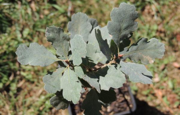 Quercus douglasii Hook. & Arn.