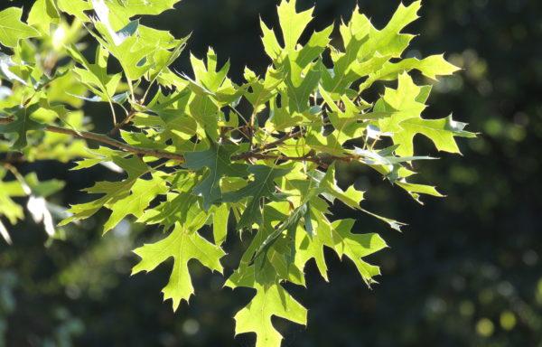 Quercus ellipsoidalis E.J. Hill.