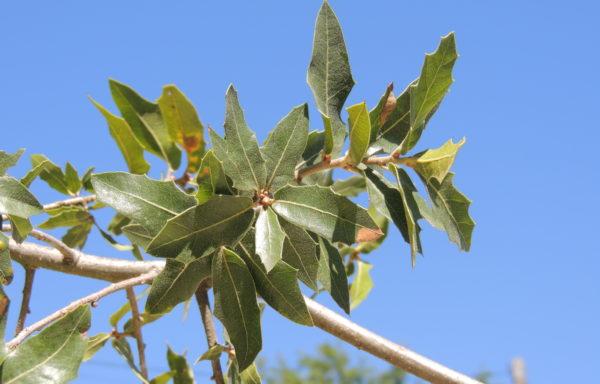 Quercus emoryi Torr.