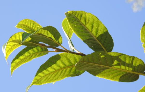 Quercus engleriana Seemen