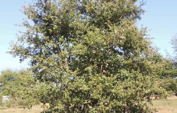 Quercus faginea subsp. broteroi (Cout.) A.Camus