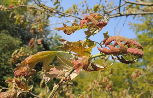 Quercus falcata Michx.