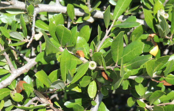 Quercus fusiformis Small