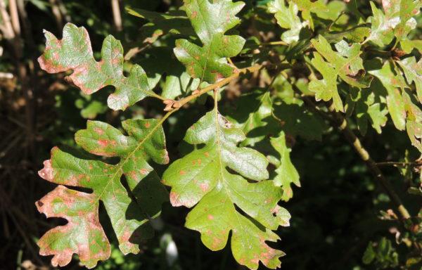 Quercus gambelii Nutt.