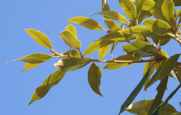 Quercus gilva Blume