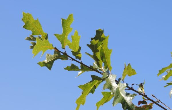 Quercus gravesii Sudw.