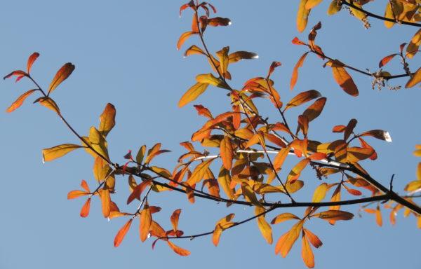 Quercus hemisphaerica Bartram.