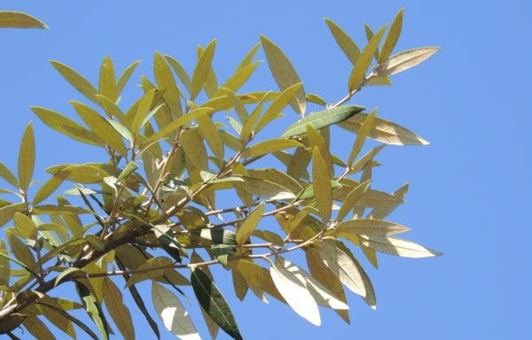 Quercus hypoleucoides A. Camus