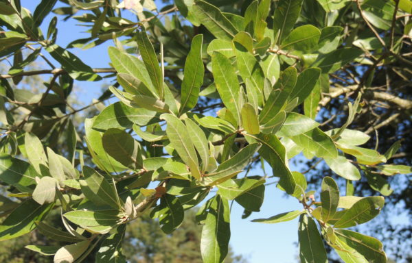 Quercus incana Bartram