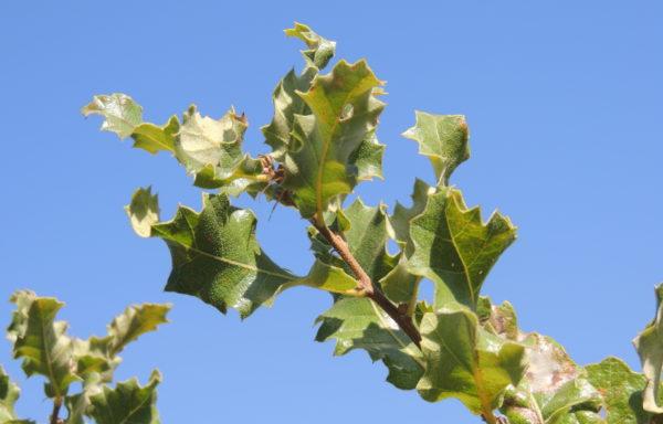 Quercus ithaburensis Decne.