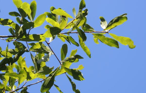 Quercus laurifolia Michx.