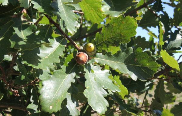 Quercus liaotungensis Koidz.