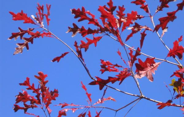 Quercus lyrata Walter