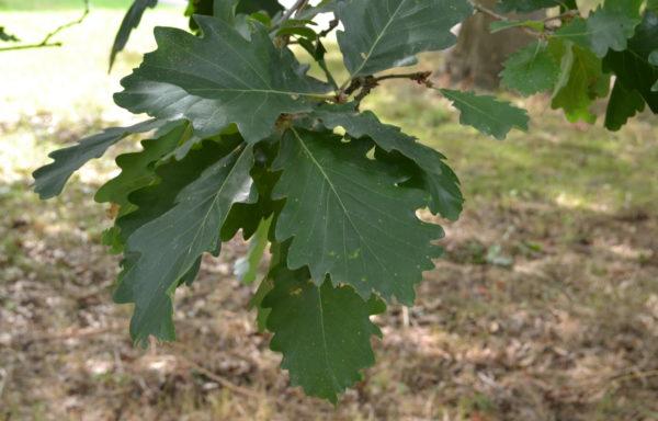 Quercus macranthera Fisch. et Mey.