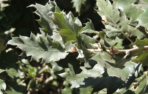 Quercus ithaburensis subsp. macrolepis (Kotschy) Hedge & Yalt.