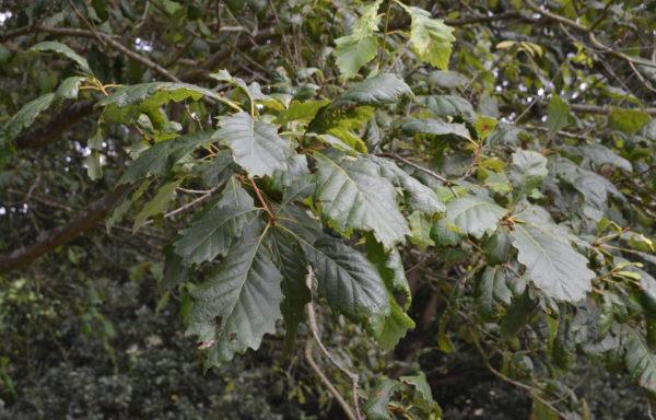 Quercus michauxii Nutt.