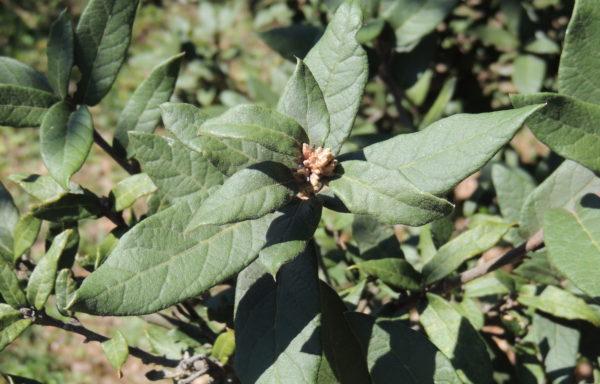 Quercus miquihuanensis Nixon & C.H.Müll.