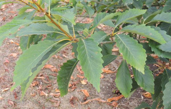 Quercus muehlenbergii Engel.
