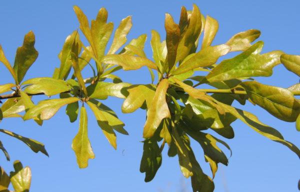 Quercus nigra L.