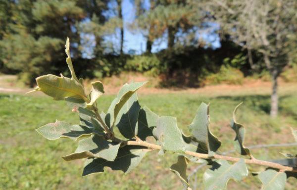 Quercus oblongifolia Torr.