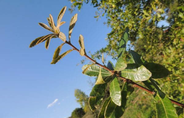 Quercus oglethorpensis W.H.Duncan