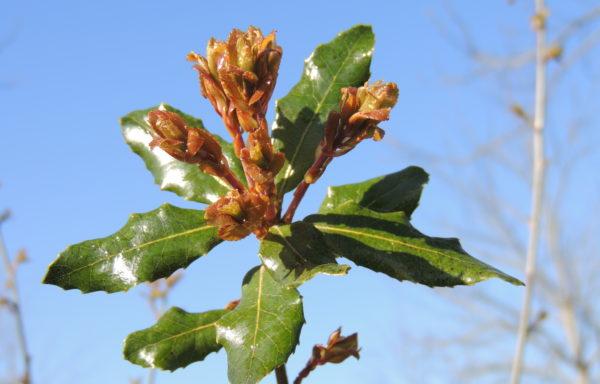 Quercus phillyreoides A. Gray.