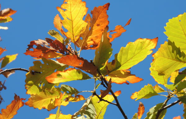 Quercus montana Willd.