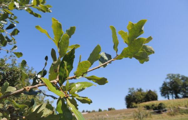 Quercus sinuata var. breviloba (Torr.) C.H.Mull.
