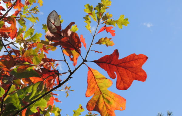 Quercus stellata Wangenh.