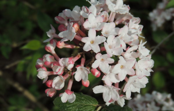 Viburnum carlesii var. bitchiuense (Makino)