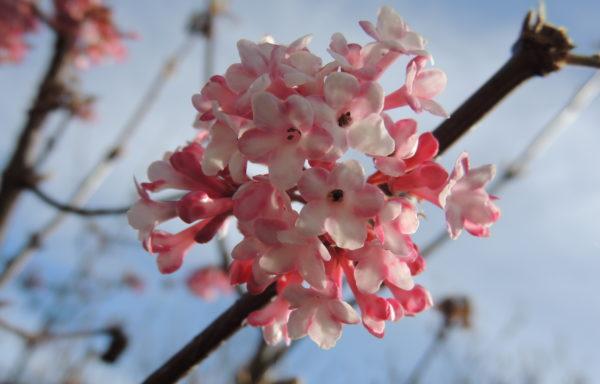 Viburnum × bodnantense Aberc. ex Stearn
