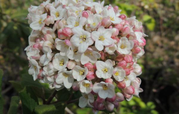 Viburnum X carlcephalum Burk. ex R. B. Pike