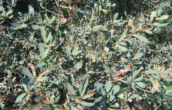 Quercus arizonica Sarg.