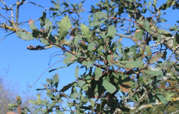 Quercus engelmannii Greene