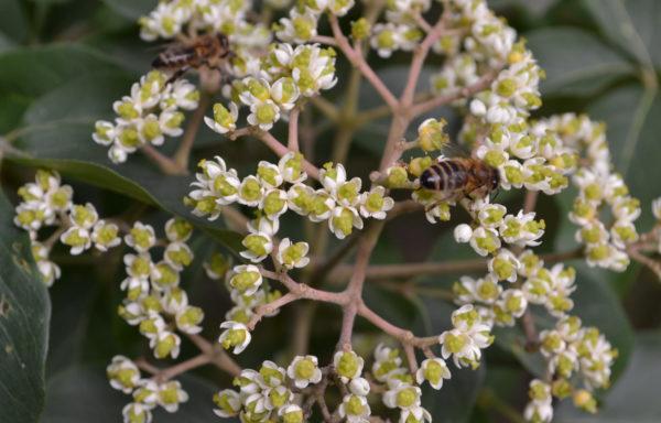 Floraisons mellifères