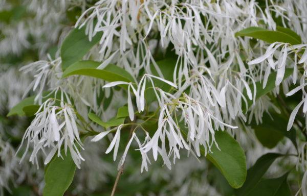 Chionanthus retusus Lindl. & Paxton