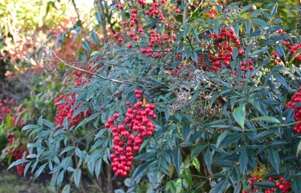 Nandina domestica Thunb.