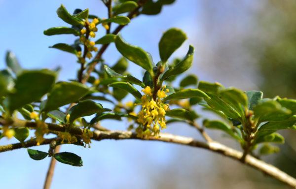 Azara microphylla Hook.f.
