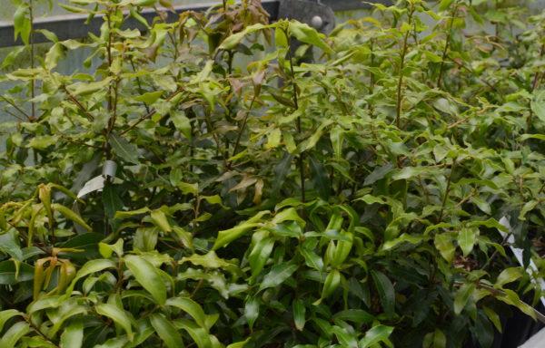 Quercus galeanensis C.H.Mull.
