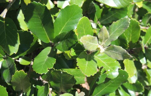 Quercus dolicholepis A.Camus