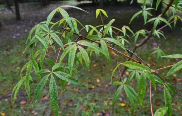 Acer pentaphyllum Diels